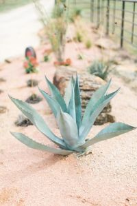 Agave at Milagro's gates